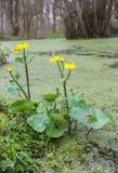 Marsh Marigold Royalty Free Stock Images
