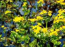 Marsh marigold marsh. Springtime зацвела желтыми colour marsh marigold marsh on Altai Royalty Free Stock Photo