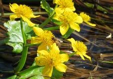 Marsh marigold marsh. Springtime зацвела желтыми colour marsh marigold marsh on Altai Royalty Free Stock Image