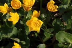 Marsh Marigold na flor com as flores amarelas brilhantes Fim acima imagem de stock