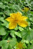 Marsh Marigold (palustris del Caltha) fotos de archivo libres de regalías