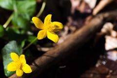 Marsh Marigold, palustris del Caltha, fiori, fuoco selettivo, macro fotografie stock libere da diritti