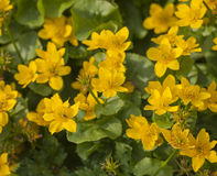 Marsh marigold plant with yellow flowers Stock Images