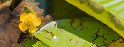 Marsh Marigold Pond fotografia de stock royalty free