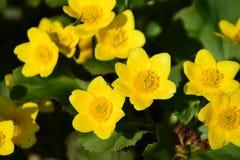 Marsh Marigold. In the sun Royalty Free Stock Image