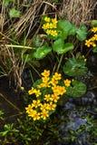 Marsh Marigold Weiße Blume im Wald Stockfotografie