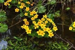 Marsh Marigold white för blommaskogfjäder Royaltyfria Foton