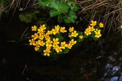 Marsh Marigold white för blommaskogfjäder Royaltyfria Bilder