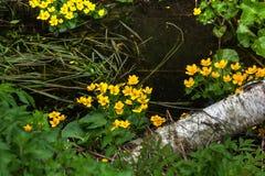 Marsh Marigold white för blommaskogfjäder Arkivbild
