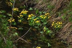 Marsh Marigold white för blommaskogfjäder Arkivfoton