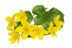 Marsh Marigold Wildflower Royalty Free Stock Photos
