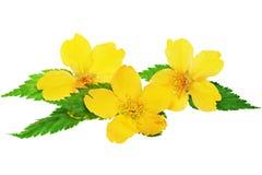 Marsh Marigold  Yellow wildflowers isolated on white background Royalty Free Stock Photos