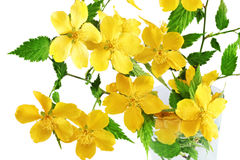 Marsh Marigold  Yellow wildflowers in vase isolated on white bac Stock Images