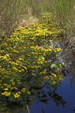 Marsh marigolds. In a creek, Bialowieza, Poland Royalty Free Stock Photo
