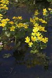 Marsh marigolds. In a creek, Bialowieza, Poland Royalty Free Stock Photography