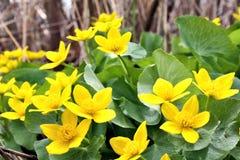Marsh Marigolds Stock Images