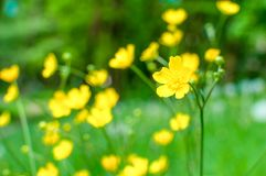 Marsh-Marigolds Caltha palustris L. in the evening sun royalty free stock photography