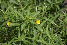 Marsh Marigolds Growing In Lush-Gebladerte royalty-vrije stock fotografie