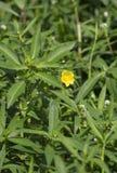 Marsh Marigolds Growing In Lush-Gebladerte royalty-vrije stock foto's
