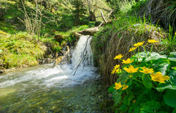 Marsh marigolds and a little waterfall. Alps, Bavaria. Marsh marigolds along a creek and a little waterfall. Alps, Bavaria, Germany in springtime Stock Images