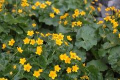 Marsh Marigolds Royalty Free Stock Image