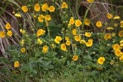 Marsh Marigolds Stock Photo