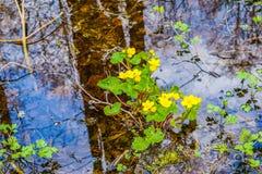Marsh marigolds in water Stock Photos