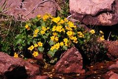 Marsh Marigolds - Wildflower Royalty Free Stock Photography