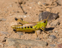 Marsh Meadow Grasshopper fotografie stock libere da diritti