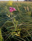 Marsh or Swamp Milkweed. The magenta blooms of Marsh Milkweed (Asclepias incarnata) contrast with the green grasses and sedges of the wetland Royalty Free Stock Photography