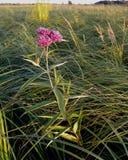 Marsh or Swamp Milkweed Royalty Free Stock Photography