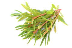 Marsh (Northern) Labrador Tea Stock Photo