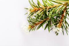 Free Marsh Northern Labrador Tea, Ledum Palustre Plant Isolated On A White Background. Royalty Free Stock Photo - 155379115