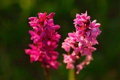 Marsh Orchid feuillu, majalis de Dactylorhiza, orchidée sauvage terrestre européenne fleurissante, habitat de nature Beau détail  Image libre de droits