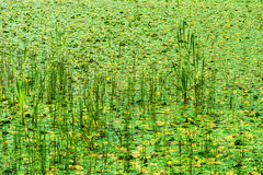 Marsh overgrown with reeds Royalty Free Stock Photo