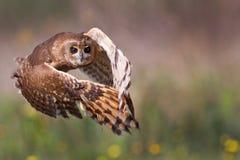Marsh Owl royaltyfri fotografi