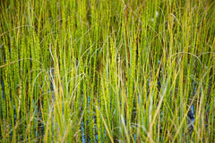 Marsh plants - Horsetail Stock Photos
