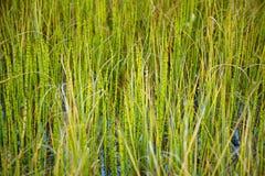 Marsh plants - Horsetail Stock Photos