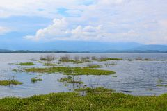 Marsh Plants in Reservoir. Marsh plants in water in a full reservoir in the Venezuelan state of Barinas Stock Photo