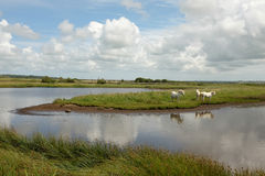 Marsh ponies. Stock Image