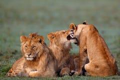 Marsh Pride Lions Royalty-vrije Stock Foto's