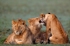 Marsh Pride Lions Royalty Free Stock Photos