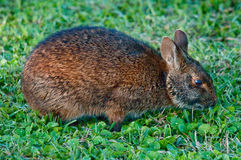 Marsh Rabbit Royalty Free Stock Image