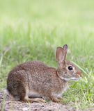 Marsh Rabbit Stock Photo