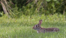 Marsh Rabbit. On green grass from side royalty free stock image