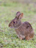 Marsh rabbit in deep grass, portrait in profile view Stock Image