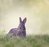 Marsh Rabbit Feeding Royalty Free Stock Photo