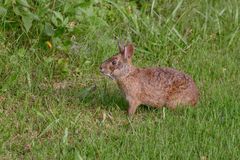 Marsh Rabbit Royalty Free Stock Images