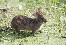 Marsh Rabbit i Florida våtmarker arkivbilder