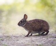 Marsh Rabbit i våtmarker arkivfoton